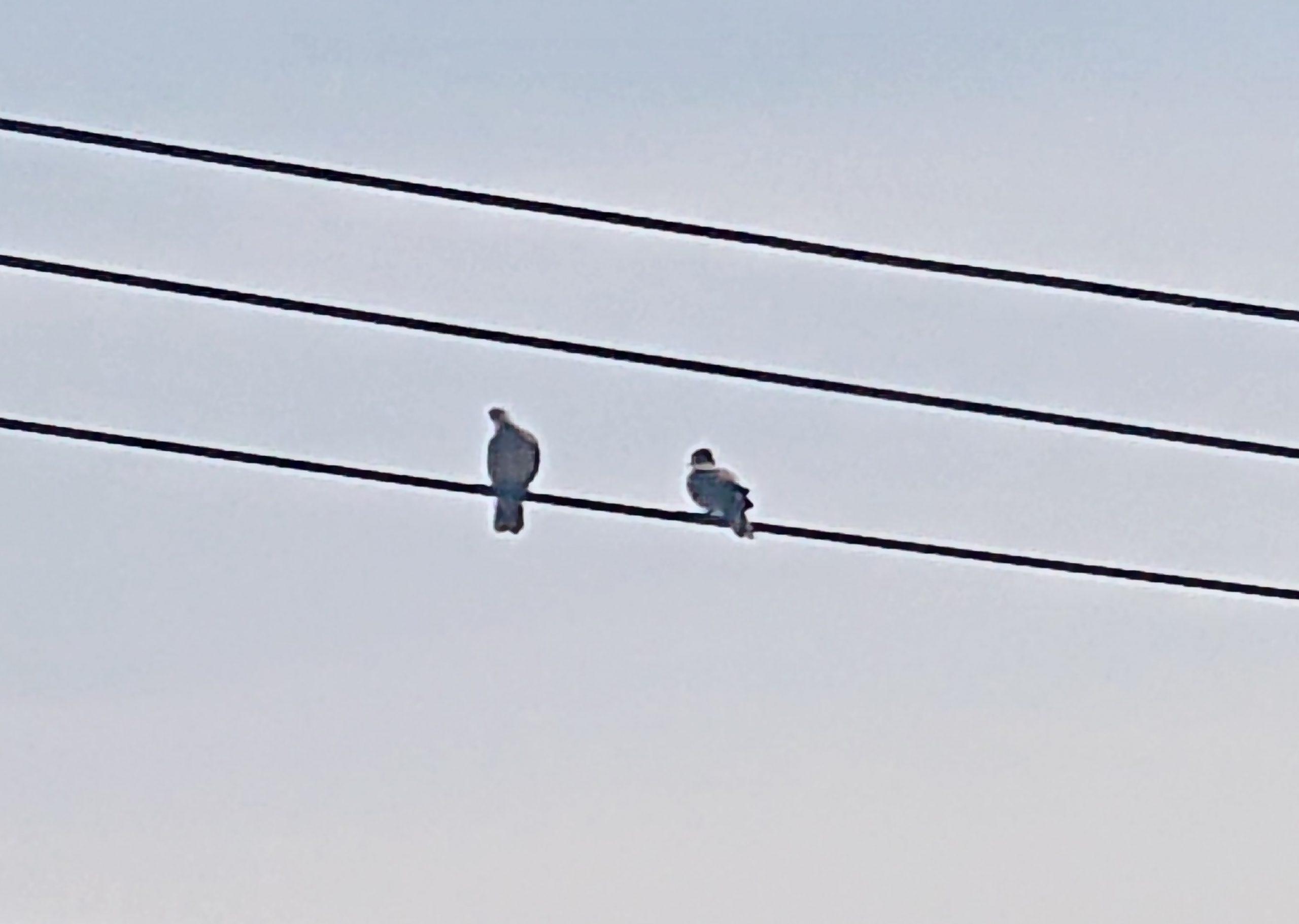 二羽のハト!