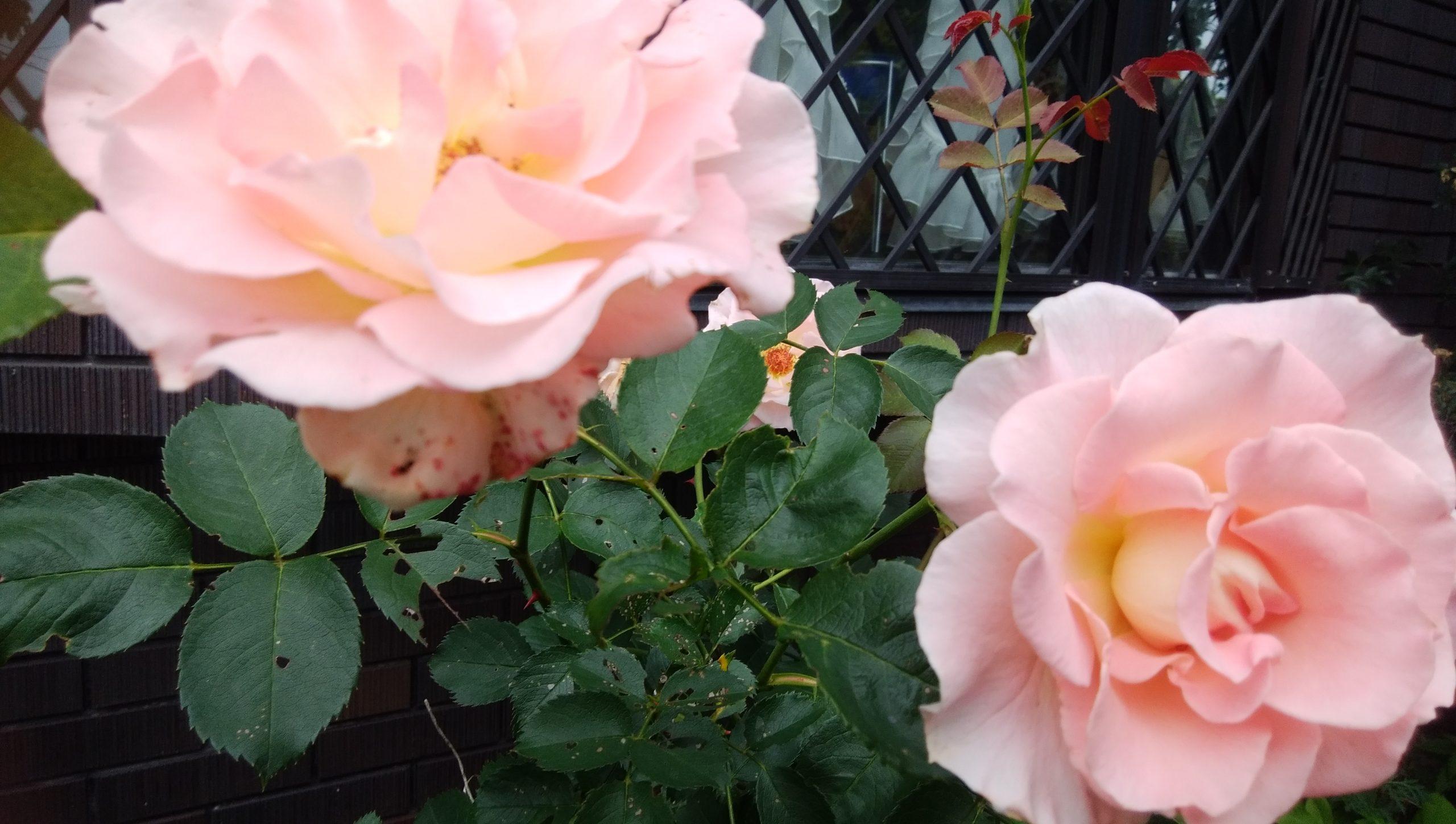 ぃろいろな薔薇🌹