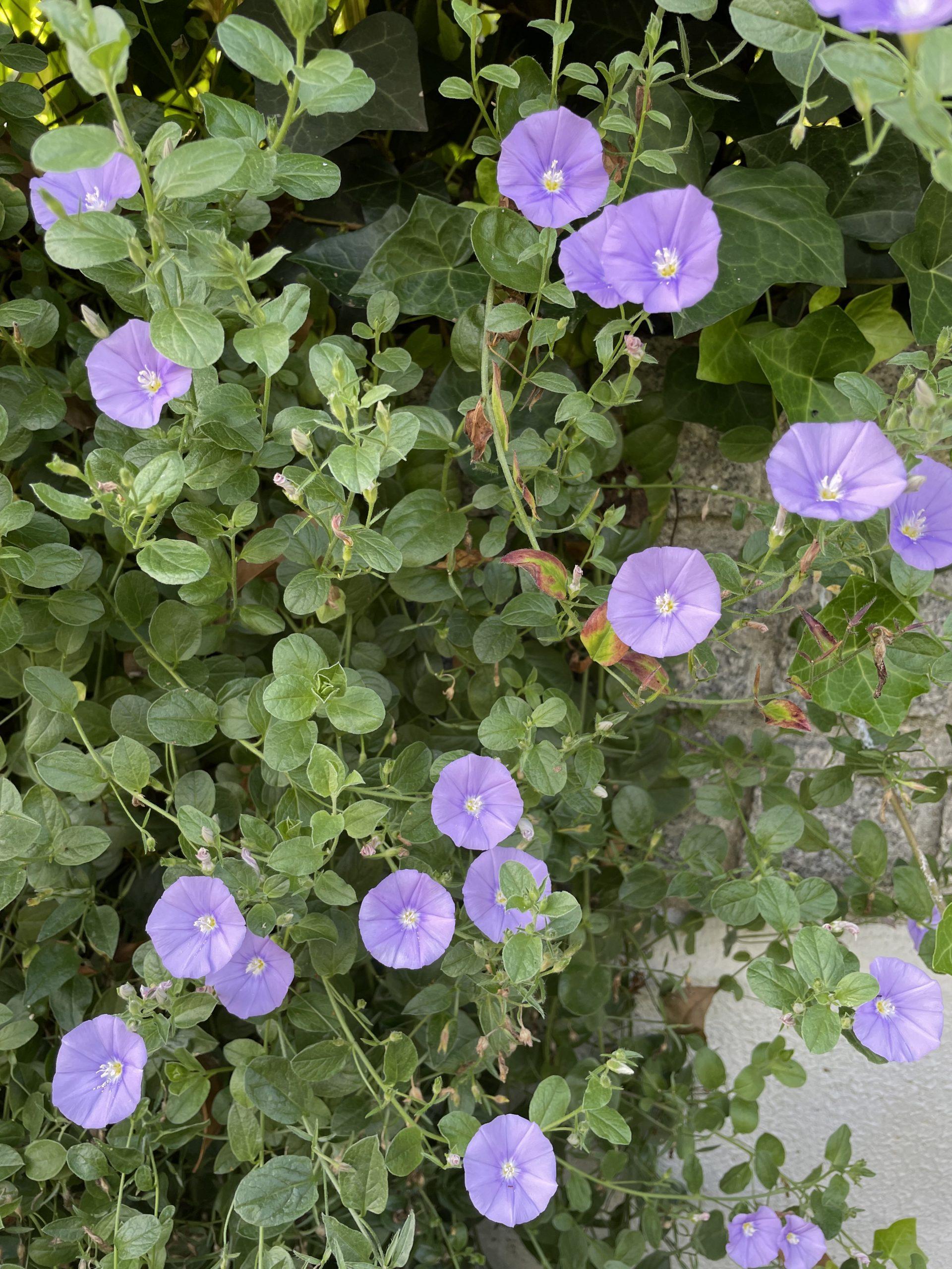 青い花の絨毯