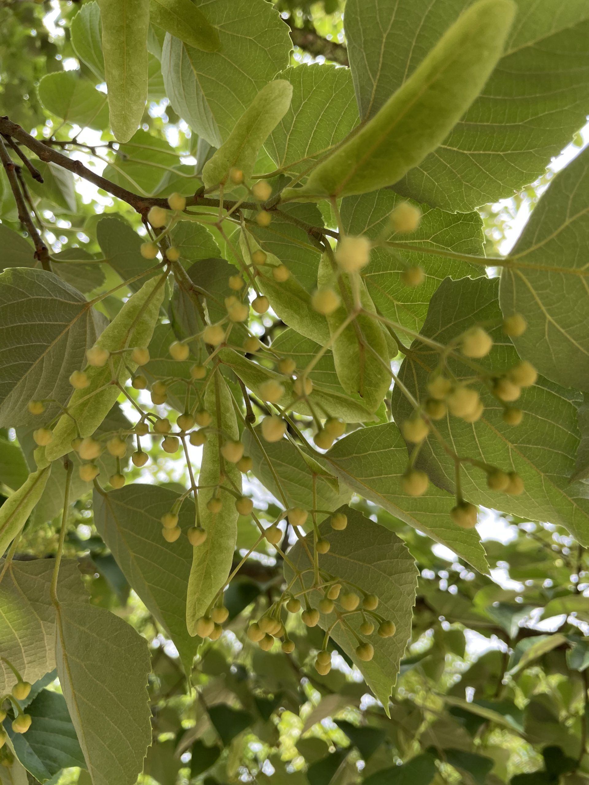 菩提樹のつぼみ