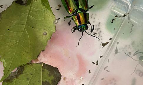 初めての玉虫飼育